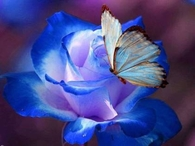 Blue Butterfly on Blue Rose