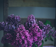 Gorgeous Purple Lilacs
