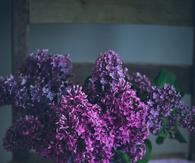 Gorgeous Purple Lilacs