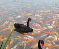 Black Swan and Koi