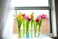 Tulips in Colored Glass Vases Lining Wndowsill