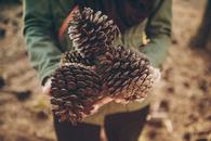 Huge pinecones