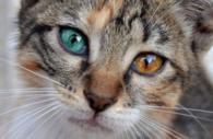 blue green eyed cat