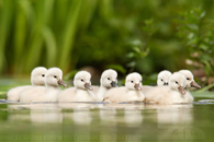 Little Swanlings