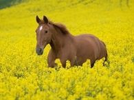 Horse in a field of Yellow Rapeseed (Canola) Flowers