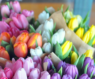 Color tulips