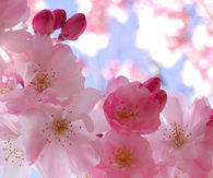 Blooming Cherry Flowers