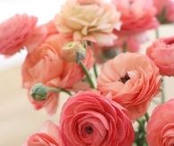 Coral and pink ranunculus