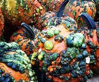 Mutated pumpkins