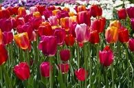 Red, pink and orange tulips