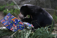 Zoo Gift wrapped presents and Sun Bear