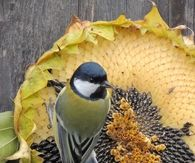 Bird Eating Dried Sunflower Seeds