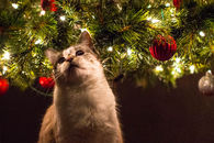 Cat Excited For Christmas