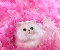 White Persian surrounded by Pink Feathers