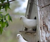 White Doves Sitting Checking Out the Day