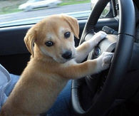 Puppy at the Steering Wheel