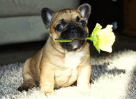 Cute Pug with a Yellow Rose