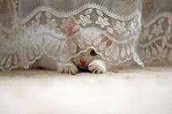 White Kitty Hiding Behind Lace Tablecloth