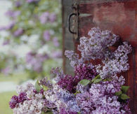 Lilacs in a Bucket