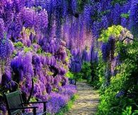 Garden Path of Purple Wisteria