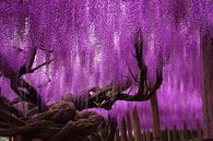 Beautiful Well Established Wisteria