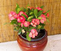 Euphorbia poinsettia