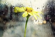 Yellow flower in the rain