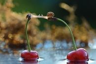 Snails Kiss on Cherries