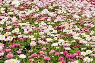 Field of pink and white flowers