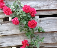 Winding rose bush