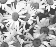 Desaturated daisies