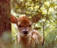 Deer Peeking Through Trees