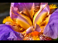 Gold and purple flower