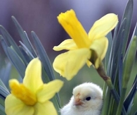 Little Chick & Daffodils