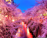 Japanese Sakura at Night