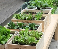 Wine box vegetable garden