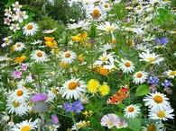 Garden of wildflowers