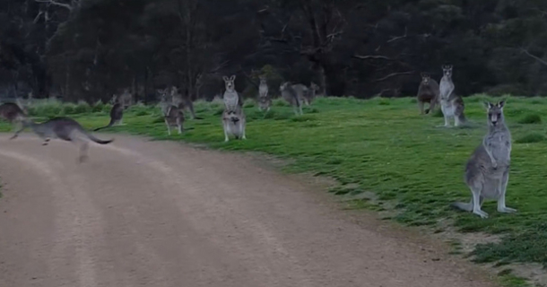 a man riding a bike encounters a kangaroo army what